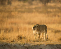 Lioness. A lioness roaring in the early morning. A contact call looking for the rest of her pride Stock Images