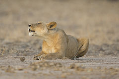 Lioness  roaring. Lioness (Panthera leo) lying down roaring Royalty Free Stock Photography