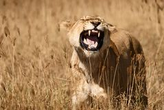 Lioness roars in the savannah. Beautiful lioness Panthera leo roars in the tall grass of the African savannah stock photo