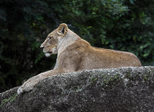 Lioness on the rock 1 Royalty Free Stock Photos