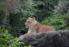 Lioness on the rock 2 Stock Photo