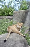 Lioness On A Rock royalty free stock image
