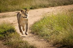 Lioness running in the road to hunt in National Park of Serenget stock photography