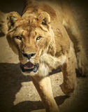 Lioness running at a viewer. In safari park royalty free stock photo