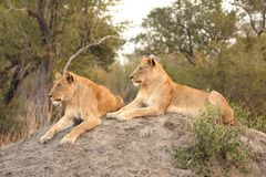 Lioness in Sabi Sands Stock Photos