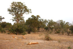 Lioness in Sabi Sands Royalty Free Stock Photos