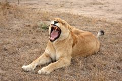Lioness in Sabi Sands Royalty Free Stock Photography
