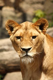 Lioness in Sabi Sands Stock Image