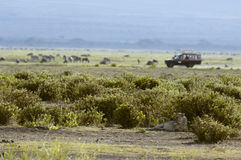 Lioness and safari vehicle on background Stock Photo