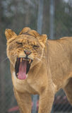 Lioness at the Santuary 2 Royalty Free Stock Photography