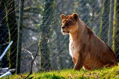 Lioness sat on the grass stock photography