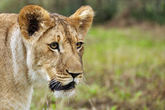 Lioness on savanna. Closeup lioness head on grass background Stock Photos