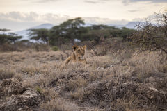 Lioness in savanna