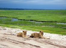 Lioness in savanna, Botswana Royalty Free Stock Photography