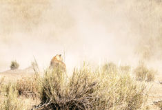 Lioness in the savanna serengeti stock photo