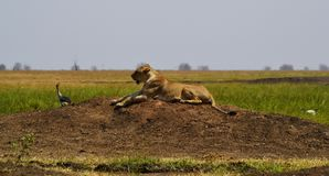 Lioness in the Savannah, Kenya, Africa royalty free stock images