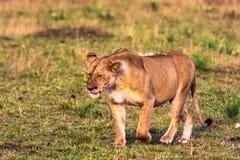 Lioness in the savannah. Masai Mara Stock Image