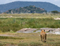 Lioness in the savannah. National Park. Kenya. Tanzania. Masai Mara. Serengeti. An excellent illustration royalty free stock photography