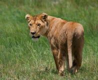 Lioness in the savannah. National Park. Kenya. Tanzania. Masai Mara. Serengeti. Royalty Free Stock Images