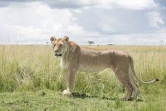 Lioness on savannah. Lioness Panthera leo looking at distance standing in savannah, Masai Mara, Kenya stock photo