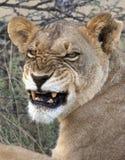Lioness in Savuti nel Botswana fotografia stock libera da diritti