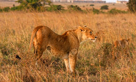 Lioness scanning savannah in Kenya Stock Photos