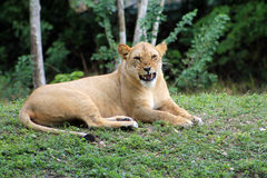 Lioness with scary fangs Royalty Free Stock Images