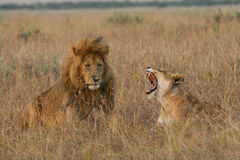 Lioness screaming at her mate. African lion and lioness during courtship, Masai Mara Serengeti, East Africa Stock Photos