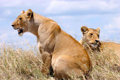 Lioness seating on the plains of Serengeti National Park Tanzania Stock Images