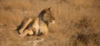lioness sedd sida Royaltyfria Bilder