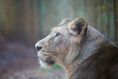 Lioness Royalty Free Stock Image