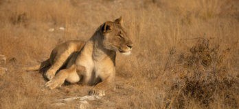 Lioness seen of side Royalty Free Stock Images