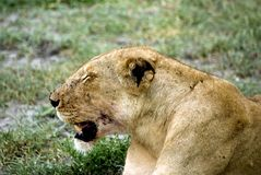 Lioness, Selous National Park, Tanzania Stock Images