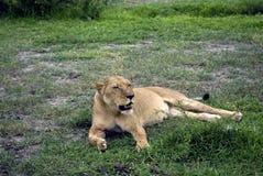 Lioness, Selous National Park, Tanzania Royalty Free Stock Photo