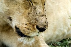 Lioness, Selous National Park, Tanzania Stock Photo