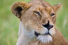 Lioness in the Serengeti Stock Photos