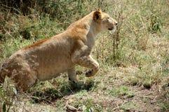 Lioness in the Serengeti. National Park, Tanzania Stock Photos