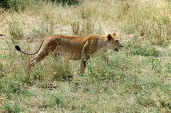 Lioness in the Serengeti. Young lioness in the Serengeti National Park, Tanzania Royalty Free Stock Image