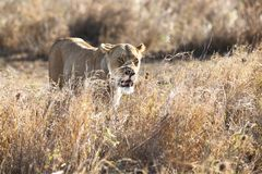 Lioness in Serengeti Stock Images