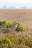 Lioness in the Serengeti Stock Image