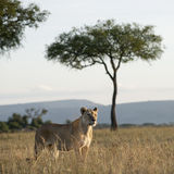 Lioness at the Serengeti National Park Stock Photos
