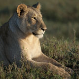 Lioness at the Serengeti National Park Stock Images
