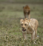 Lioness at the Serengeti National Park royalty free stock images
