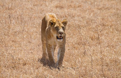 Lioness in the Serengeti National Park Royalty Free Stock Images