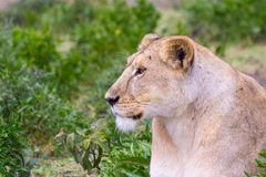 Lioness. In the Serengeti plains Stock Photos