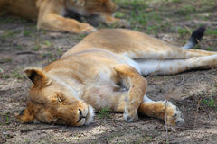 Lioness in Serengeti Stock Photography