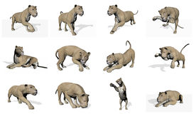 Lioness set - 3D render Royalty Free Stock Photos
