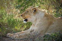 Lioness in the Shade Stock Photos