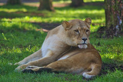Lioness in the shade under a tree. Lioness lying in the shade under a tree with sunny spots in the background Stock Photography