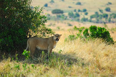 Lioness in the shadow of bush Stock Image